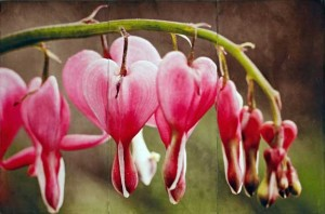 Bleeding Hearts, Jody Valentine Photographic Mixed Media